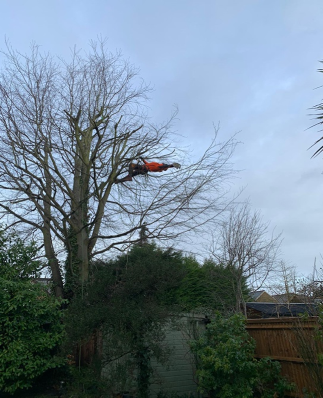 beech crown reduction